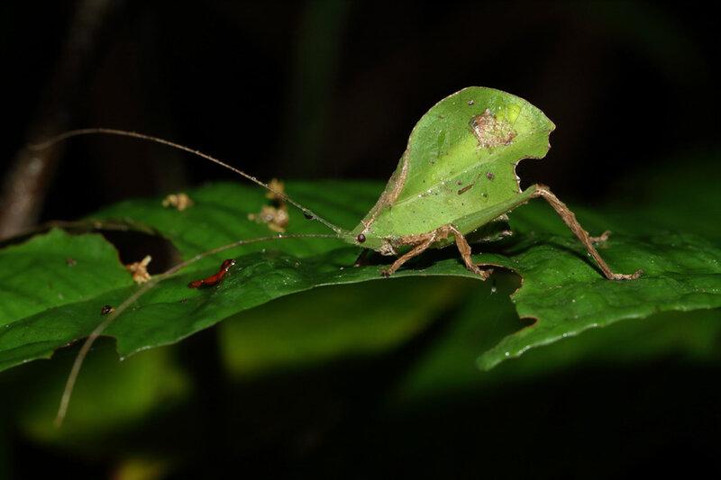 Typophyllum trapeziforme (mâle)