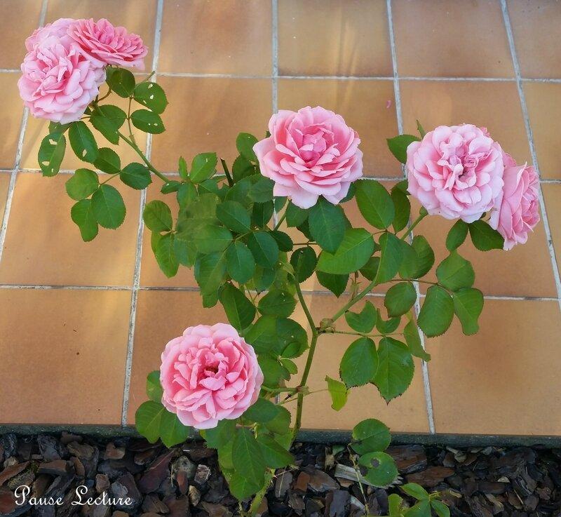 Rose 3a