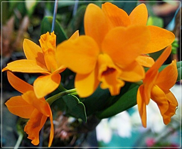 ORCHIDEE ORANGE SFJSFKSFKS