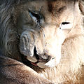 lion blanc beauval4