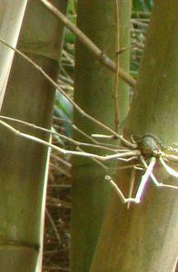 38-Gros bourgeon dormant partie inferieure du chaume D asper