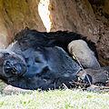 gorille beauval6