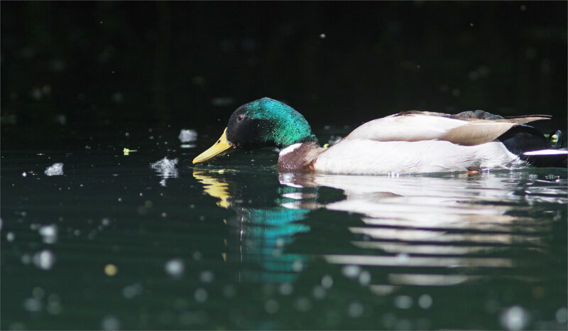oiseau canard colvert graines eau 030521 14 ym