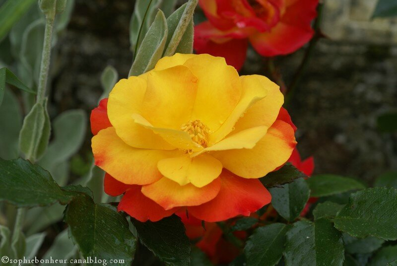 j rose rouge jaune