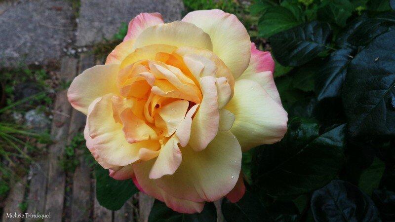 Rose 21051622