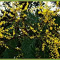 Mimosa 2102154