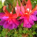 détail fleur fuchsia