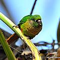 Conure de vieillot - photos