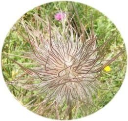 fleur_1_des_montagnes