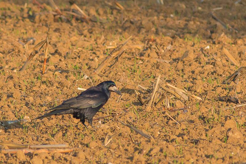 Corvus frugilegus- corbeau freu