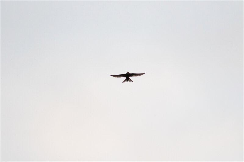 Oiseau martinet contrej 250620