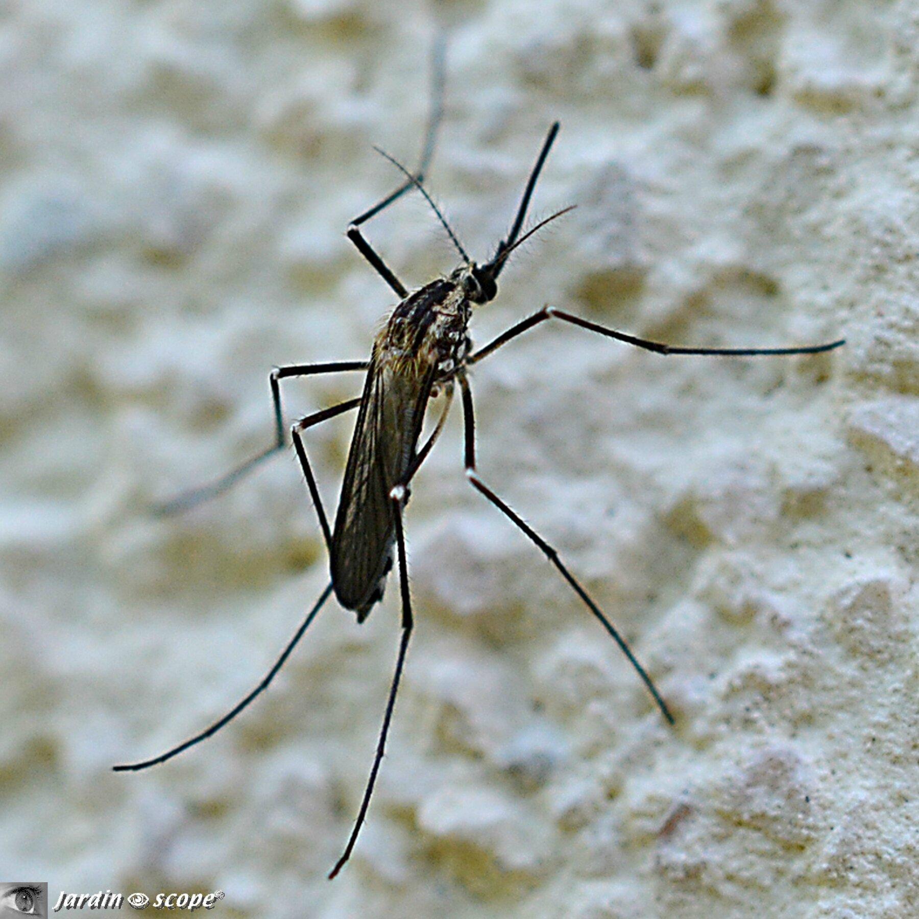 Moustique Aedes geniculatus • Famille des Culicidae