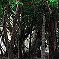 Le mancenillier, l'arbre dont sont tissés les cauchemars
