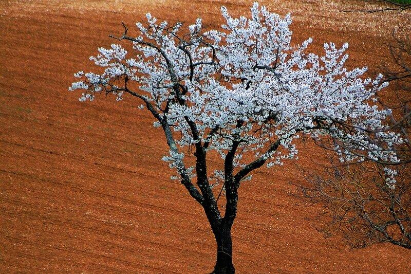arbre_fleuri_sur_terre_copie