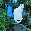 chat_blanc_fontaine_fleurs_jardin
