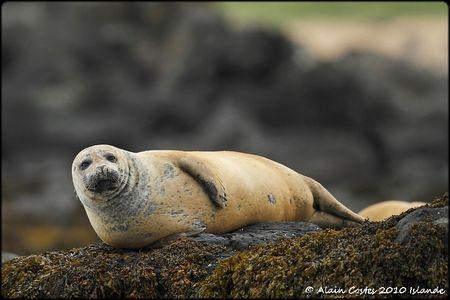 Islande_oiseaux078_1