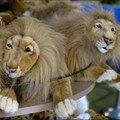 Lions aux yeux tristes