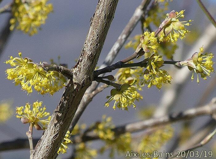 inflorescence jaune paraissant avant les feuilles