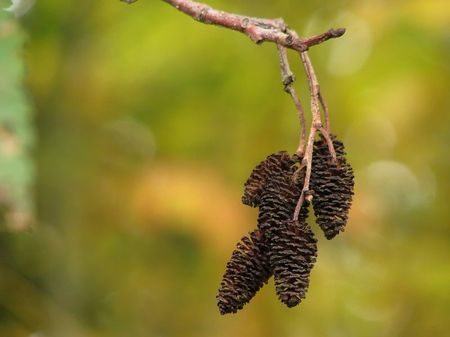 Red_Alder_Female_Catkins_in_Autumn