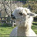 Alpagas (5)