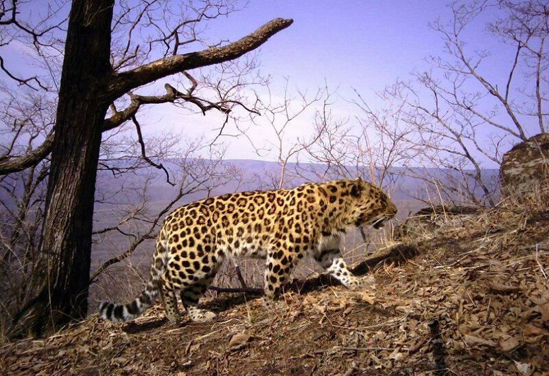 PANTHERE DE L'AMOUR DANS LE PARC NATIONAL LAND OF THE LEOPARD