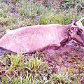 Vache embourbée avec un boeuf et un veau 1