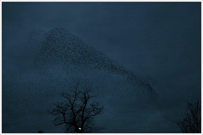 ville etourneaux nuage arbre 3 soir 010216