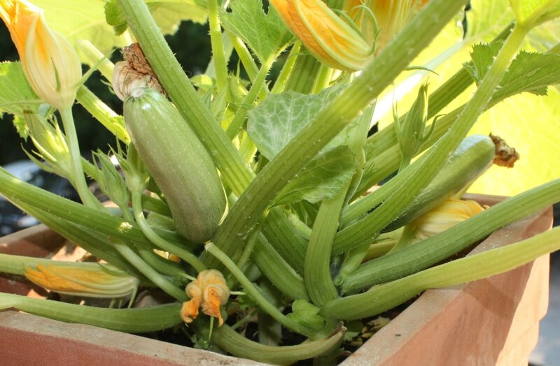 courgettes claires