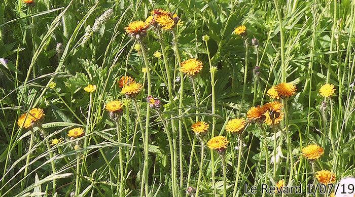 floraison de juin à juillet
