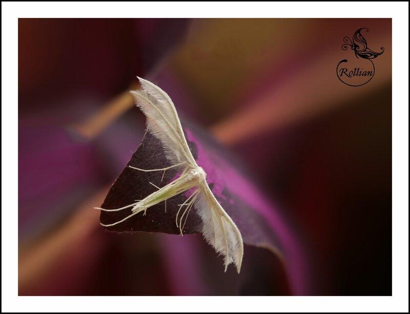 le Pterophore blanc2