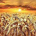 wheat-field-640960__340