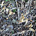 Sphatularia flavida (1)