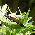 Les symphytes ou mouches à scie s'invitent au jardin...