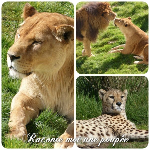 lion tigre