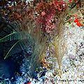 Plume de mer (aglaophenia pluma)