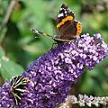 Vole vole papillon