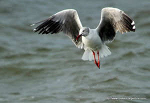 mouette_t_te_grise
