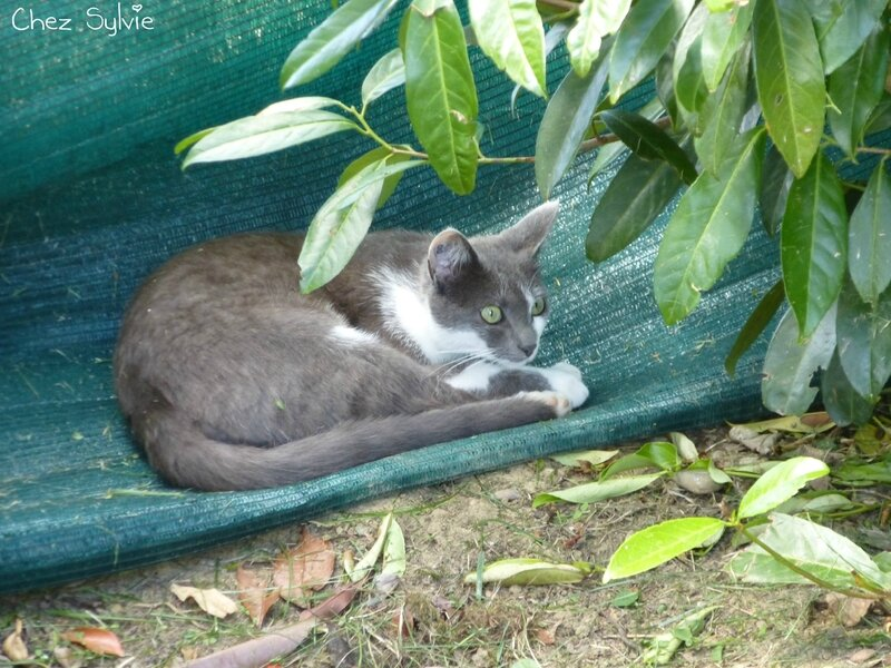 Chat gris06