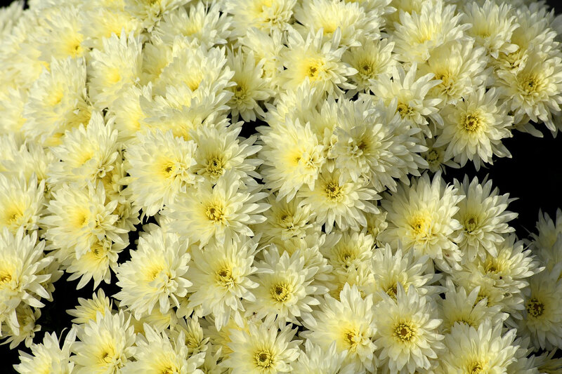chrysanthemum-3789013_1280