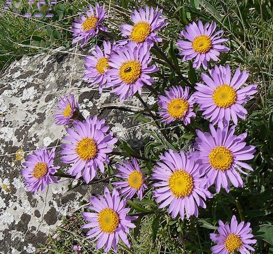 Asters_des_Alpes
