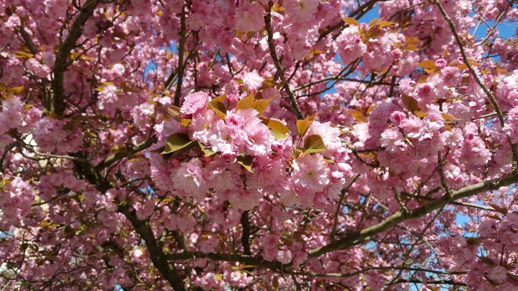 Windows-Live-Writer/Joli-printemps-au-jardin-_601C/20170402_133402_5