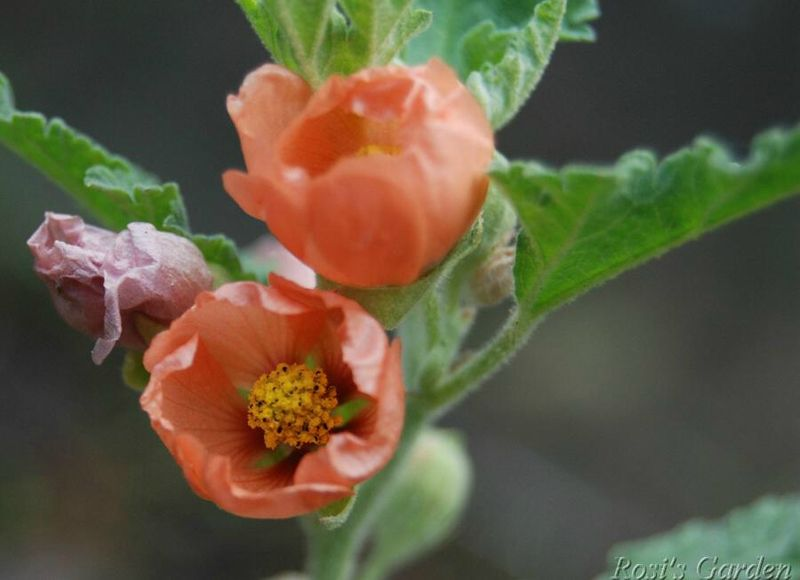 Sphaeralcea 'Childerley'