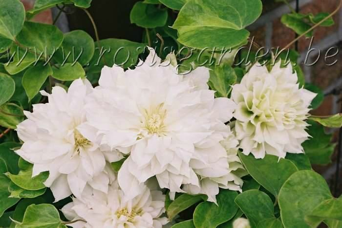 Clematis 'Artic Queen'