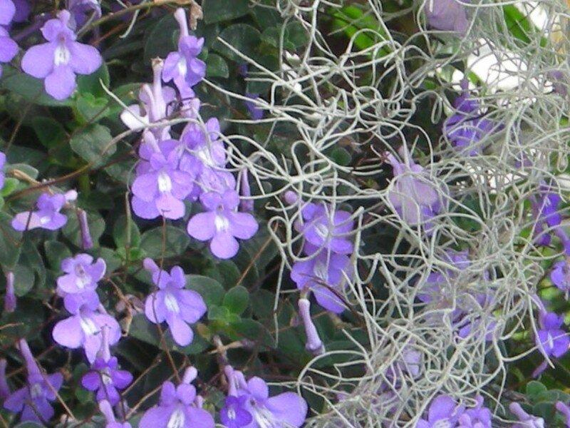 Fleurs violettes et plantes grasses