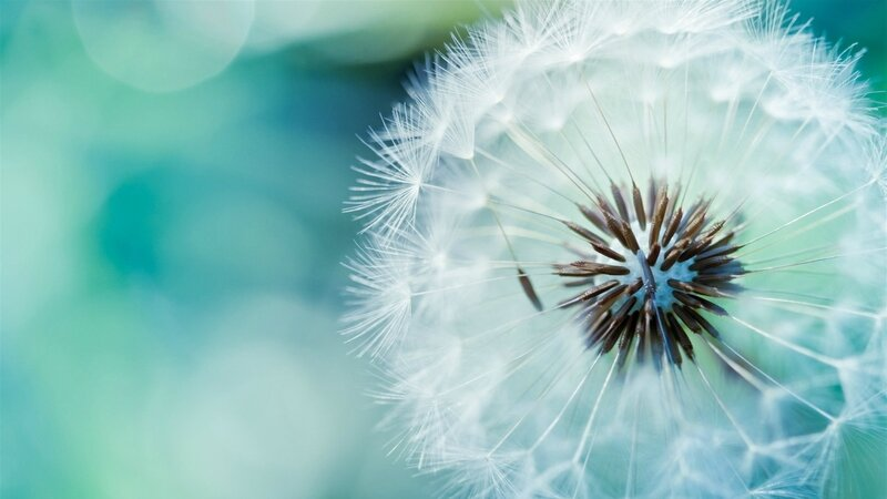 dandelion-background-2560x1440