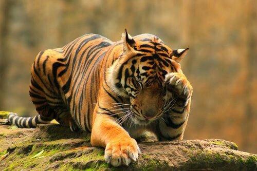 tigre99_n