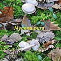 Mycena pura