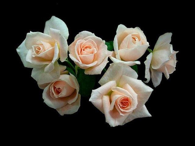 roses rose 1