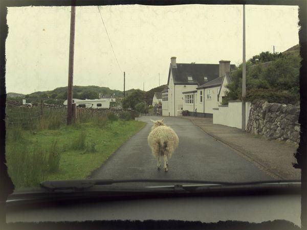 ecosse road mouton