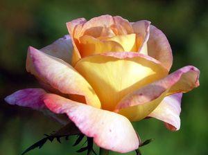 fleur_rose_jardin_haute_seythenex_589701